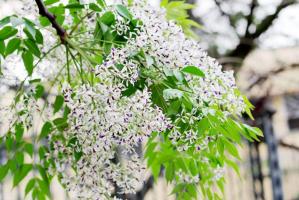 Top 11 Bài thơ hay viết về mùa hoa xoan